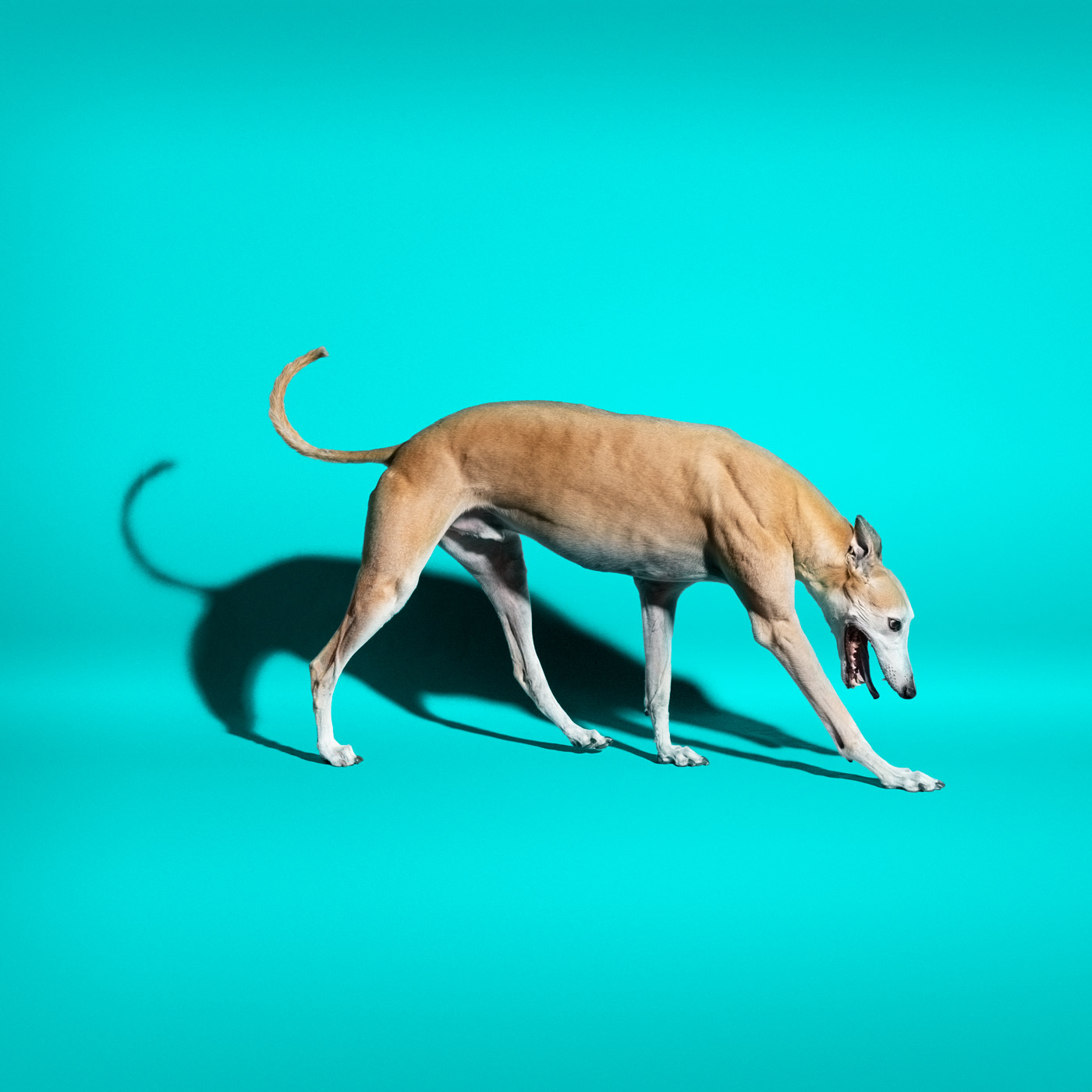 Commercial photography Portland - greyhound dog on aqua background