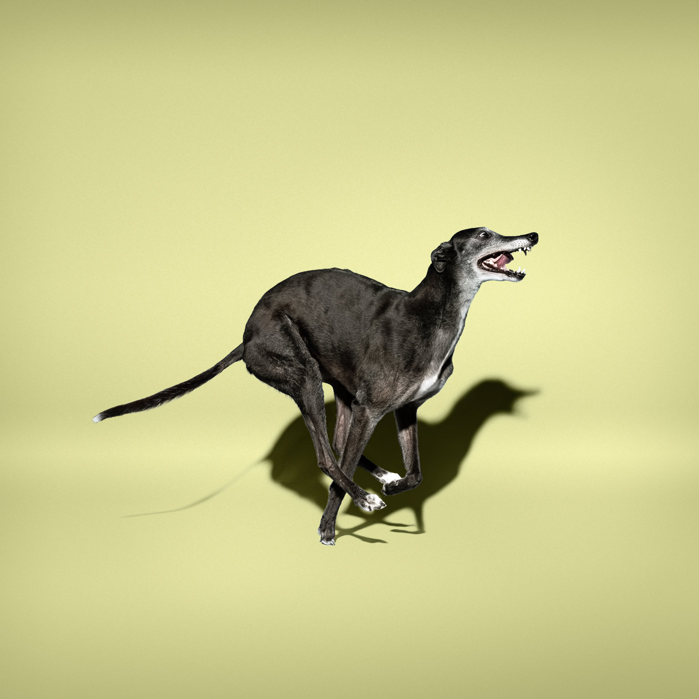 Commercial photographer Portland - greyhound dog on yellow grey background