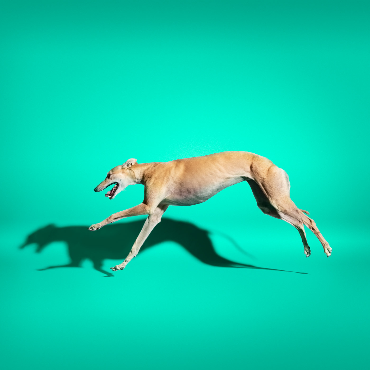 Commercial photography Portland - greyhound dog on blue green  background