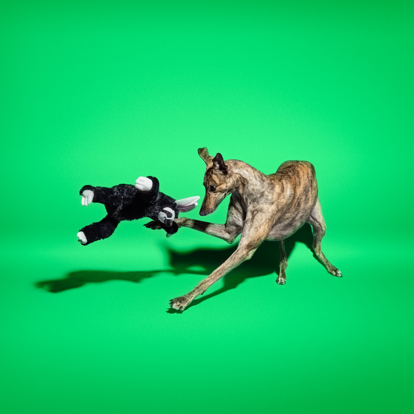 Commercial photography Portland - greyhound dog on green background