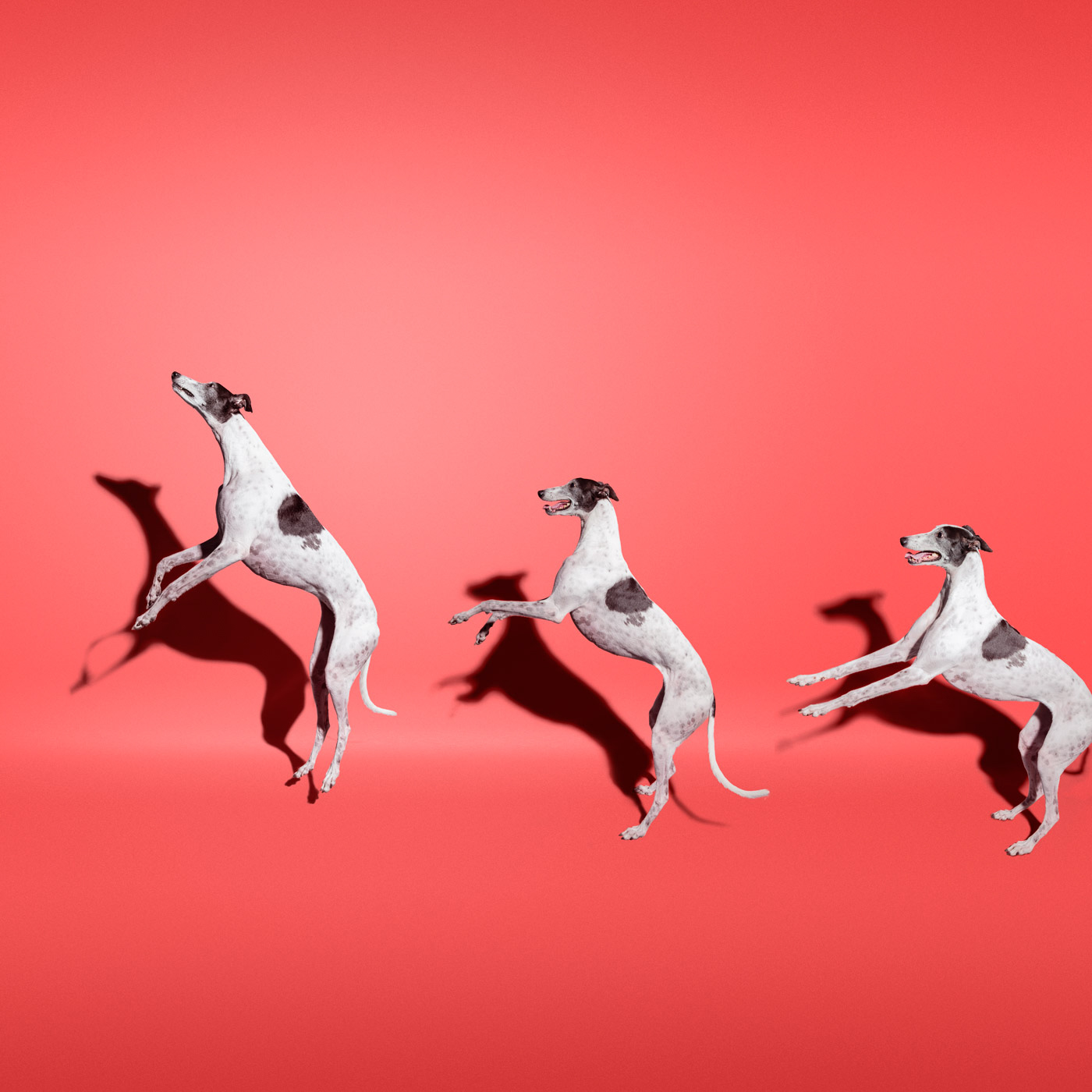 Commercial photography Portland - greyhound dog on red background