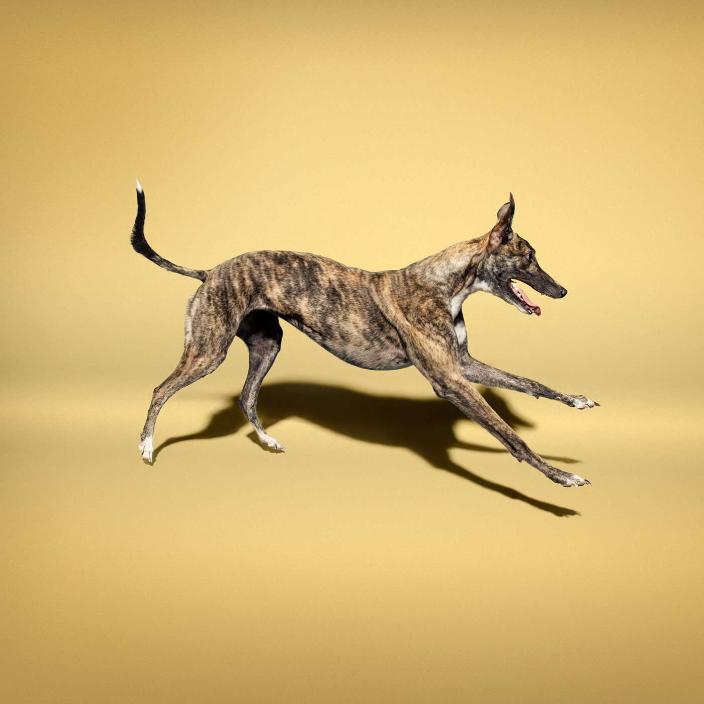 Commercial photographer Portland - greyhound dog on golden background