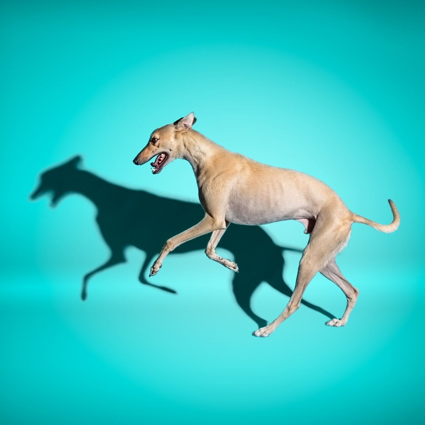 Commercial photographer Portland - greyhound dog on aqua background